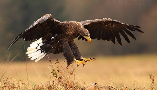 Pozvánka do Větrušic na ukázku loveckých dravců