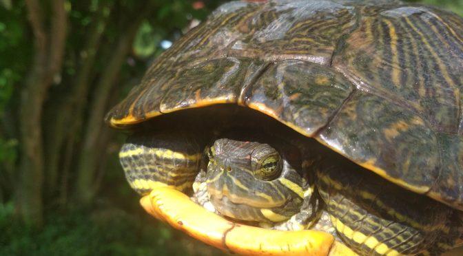 Vodní želva z Vltavy